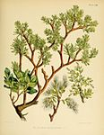 Flora Antarctica Myzodendron brachystachum.jpg