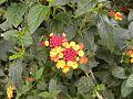 Flores de Xochimilco.jpg