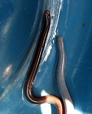 Indotyphlops braminus - R. braminus