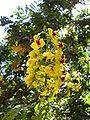 Flowers of Brazilwood, in Brasília 1.jpg