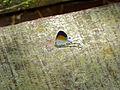 Fluffy Tit (Zeltus amasa) (15617908512).jpg