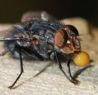 Regurgitation (digestion) - Image: Fly December 2007 20