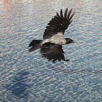Corvus - Hooded crow (Corvus cornix) in flight
