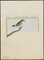 Formicivora pygmaea - 1700-1880 - Print - Iconographia Zoologica - Special Collections University of Amsterdam - UBA01 IZ16400371.tif