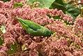 Forpus conspicillatus (Perico de anteojos) - Flickr - Alejandro Bayer (3).jpg