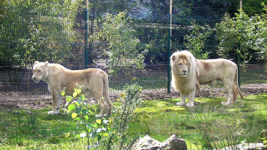 """FranceNormandieJurquesZooLionsBlancs"" by Ikmo-ned - Own work. Licensed under CC BY-SA 3.0 via Wikimedia Commons - https://commons.wikimedia.org/wiki/File:FranceNormandieJurquesZooLionsBlancs.jpg#/media/File:FranceNormandieJurquesZooLionsBlancs.jpg"