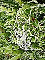 Frosted cobweb - geograph.org.uk - 1068978.jpg