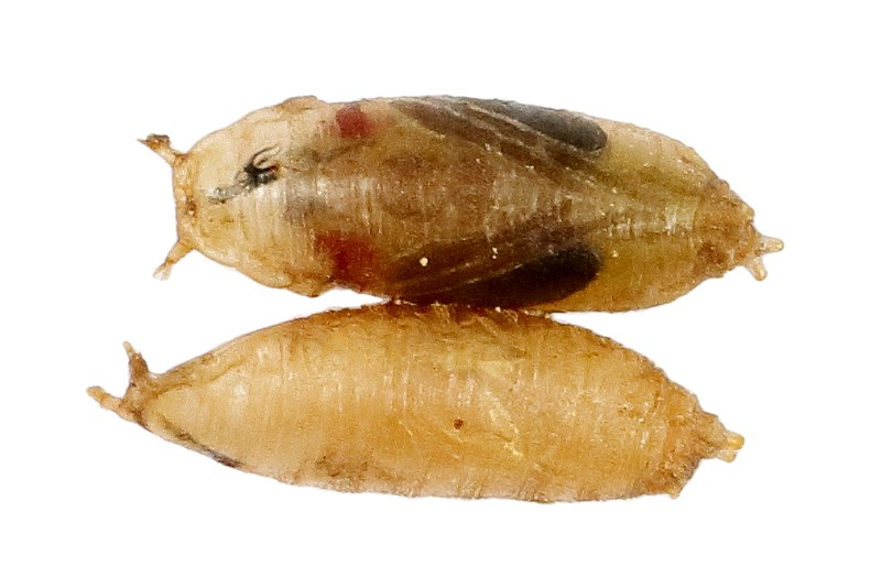File:Fruit Fly Pupa.jpg