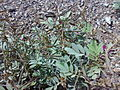 Fujairah Dibba 1501200713143 Tephrosia apollinea.jpg