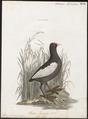 Fulica atra - 1786-1789 - Print - Iconographia Zoologica - Special Collections University of Amsterdam - UBA01 IZ17500229.tif