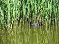 Fulica atra in water.JPG