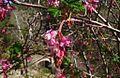 G20080213-1530--Ribes sanguineum var gluttinosum--RPBG (8941801020).jpg