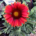 Gaillardia-arizona-red-shades-3720.jpg