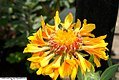 Gaillardia aristata Oranges and Lemons 3zz.jpg