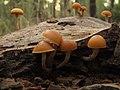 Galerina marginata - en bosques de coníferas (6427151015).jpg