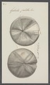Galerites patella - - Print - Iconographia Zoologica - Special Collections University of Amsterdam - UBAINV0274 106 08 0005.tif