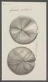 Galerites patella - - Print - Iconographia Zoologica - Special Collections University of Amsterdam - UBAINV0274 106 08 0005.tif