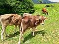 Ganado bovino -2.Guayameo, Gro.jpg
