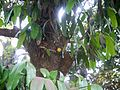 Garcinia xanthochymus (7090302981).jpg