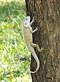 Garden lizard.jpg