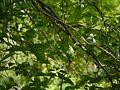 Gardenia resinifera Roth (14511770428).jpg