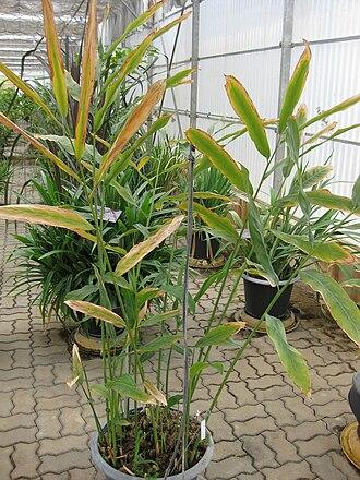 Alpinia galanga - Alpinia galanga plant