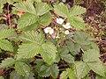 Garten-Erdbeere (Fragaria x ananassa).jpg