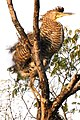 Garza Tigre Mexicana - panoramio (1).jpg