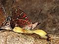 Gaudy Baron Euthalia lubentina male by Raju Kasambe DSCN3130 (7).jpg