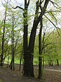 Gdansk pomnik przyr 302 1.JPG