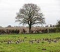 Geese grazing sheep pasture - geograph.org.uk - 1166493.jpg