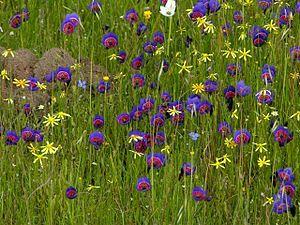 Swartland Shale Renosterveld - Image: Geissorhiza radians 2