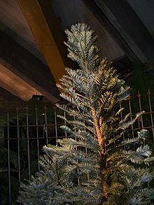 Esemplare diWollemia nobilis esposto ad Euroflora 2006 di Genova.