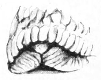 Caudal mucous pit - Drawing of the tail end of the body of Geomalacus maculosus showing supra-pedal grooves and triangular caudal mucous pit.