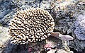 Geometric moray, Gymnothorax griseus, Перечная мурена..DSCF6043WI.jpg