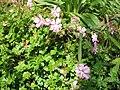Geranium dalmaticum004.jpg