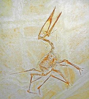 Germanodactylus - Fossil specimen of G. cristatus