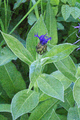 Gersfeld Obernhausen SCI 555578052 Centaurea montana b.png