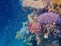 Gesundes Korallenriff im Roten Meer 1.jpg