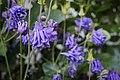 Gewöhnliche Akelei (Aquilegia vulgaris) - Flickr - blumenbiene (4).jpg