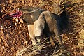 Giant Anteater (Myrmecophaga tridactyla) roadkilled and partially eaten.jpg