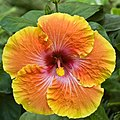 Giant Hibiscus - Flickr - desertdutchman.jpg
