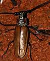 Giant Longhorn Beetle (Enoplocerus armillatus) male attracted to light ... (39919618461).jpg