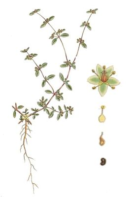 Gisekia pharnacioides, Illustration