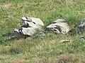 Gita al rifugio Arp 2011 abc6 marmotta.jpg