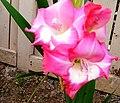 Gladiolus × hortulanus (2).jpg