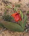 Gladiolus equitans (1).jpg