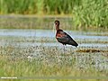 Glossy Ibis (Plegadis falcinellus) (43046154002).jpg