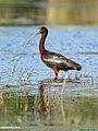Glossy Ibis (Plegadis falcinellus) (49073334802).jpg