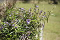 Glycine clandestina plant13 (15285850962).jpg